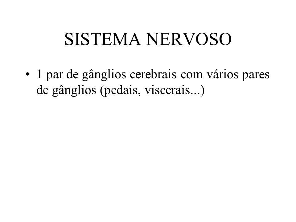 SISTEMA NERVOSO 1 par de gânglios cerebrais com vários pares de gânglios (pedais, viscerais...)