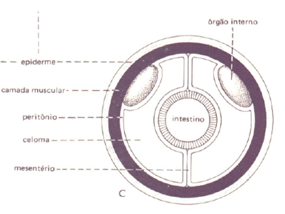 SISTEMA REPRODUTOR Geralmente dióicos Glândulas com ductos Fecundação Externa e Interna Maioria ovíparos Desenvolvimento direto ou indireto
