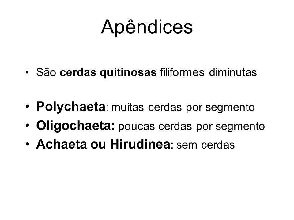 Apêndices São cerdas quitinosas filiformes diminutas Polychaeta : muitas cerdas por segmento Oligochaeta: poucas cerdas por segmento Achaeta ou Hirudi