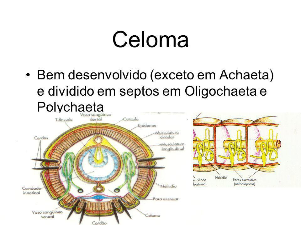 Celoma Bem desenvolvido (exceto em Achaeta) e dividido em septos em Oligochaeta e Polychaeta