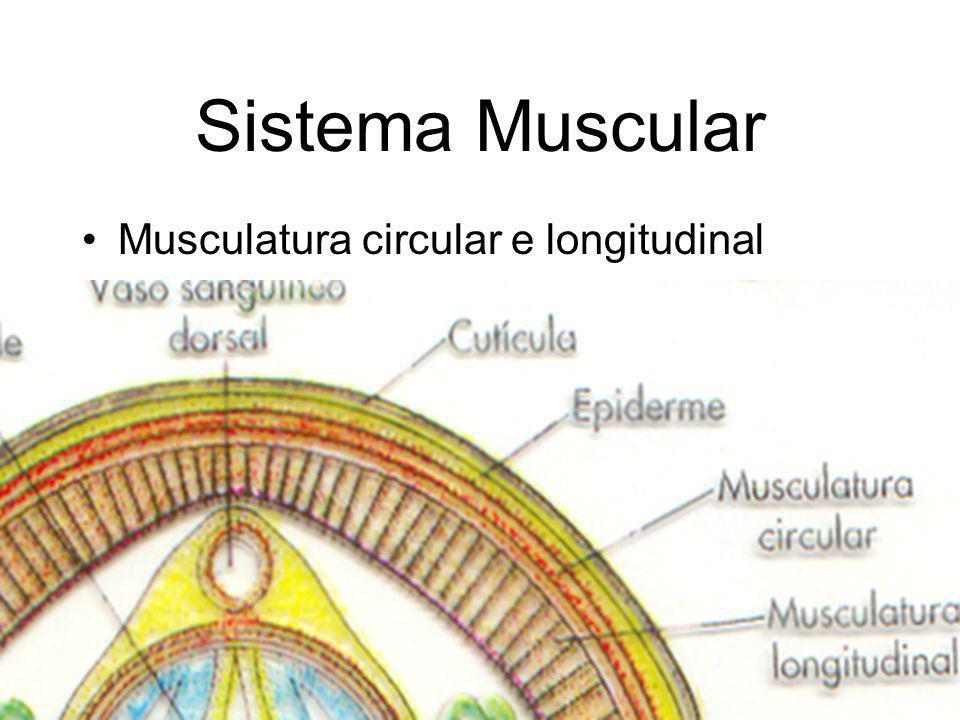 Sistema Muscular Musculatura circular e longitudinal