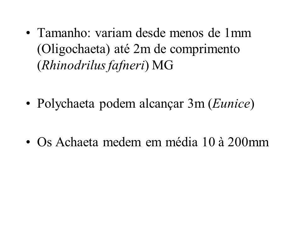 Tamanho: variam desde menos de 1mm (Oligochaeta) até 2m de comprimento (Rhinodrilus fafneri) MG Polychaeta podem alcançar 3m (Eunice) Os Achaeta medem