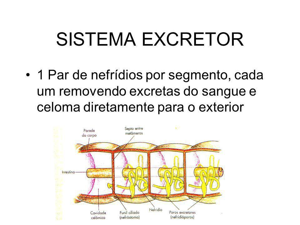 SISTEMA EXCRETOR 1 Par de nefrídios por segmento, cada um removendo excretas do sangue e celoma diretamente para o exterior