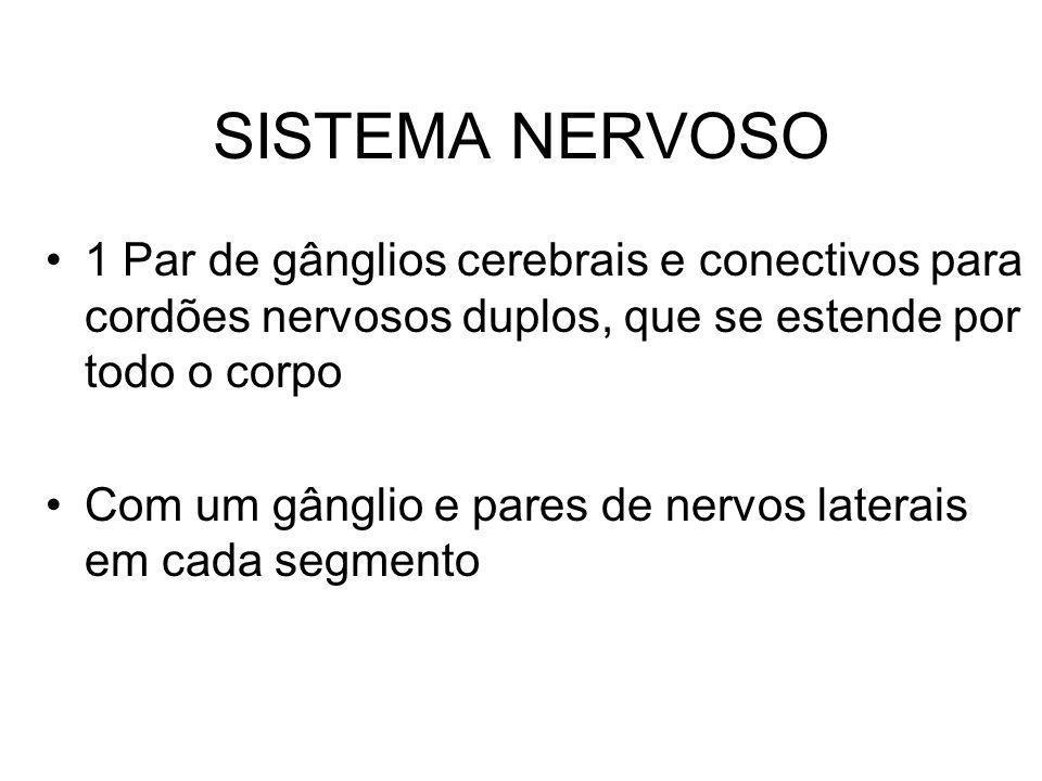 SISTEMA NERVOSO 1 Par de gânglios cerebrais e conectivos para cordões nervosos duplos, que se estende por todo o corpo Com um gânglio e pares de nervo