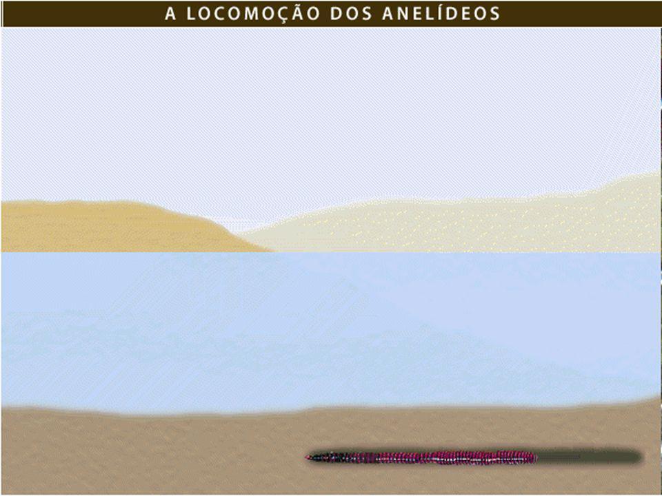 Ex.: Minhocas -do -mar ou Néreis Marinhos, encontrados principalmente ao longo das praias