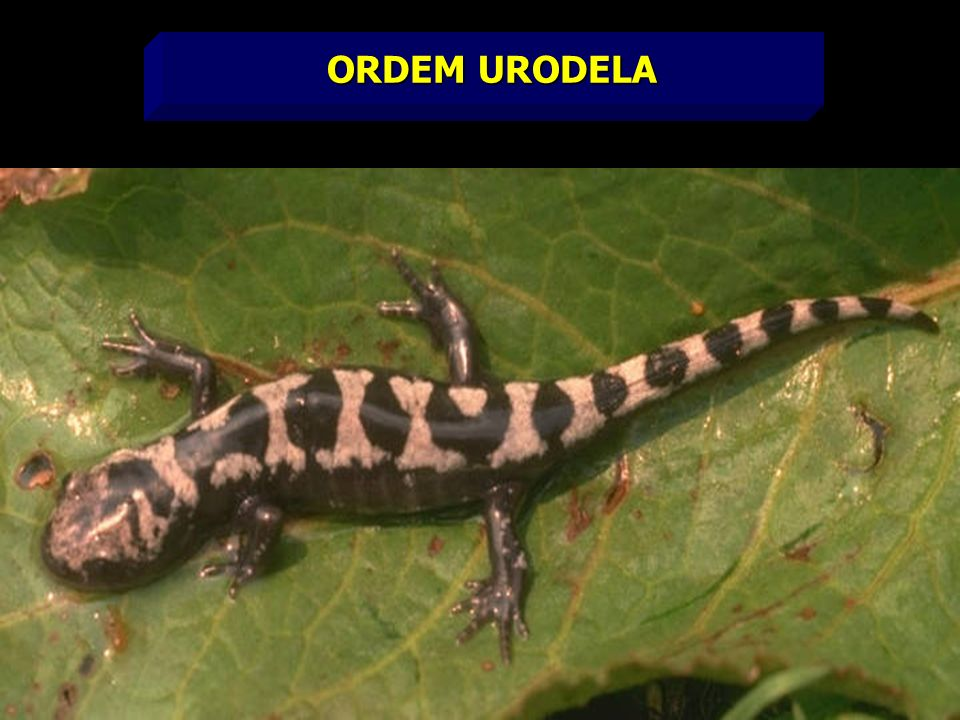 ORDEM URODELA