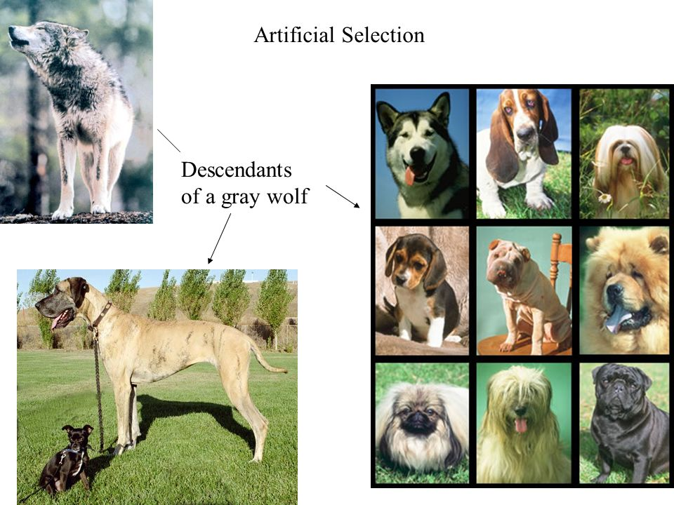 Descendants of a gray wolf Artificial Selection