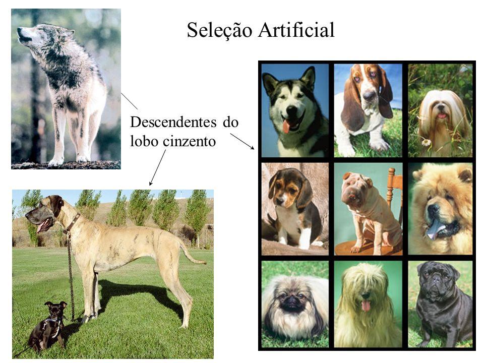 Descendentes do lobo cinzento Seleção Artificial