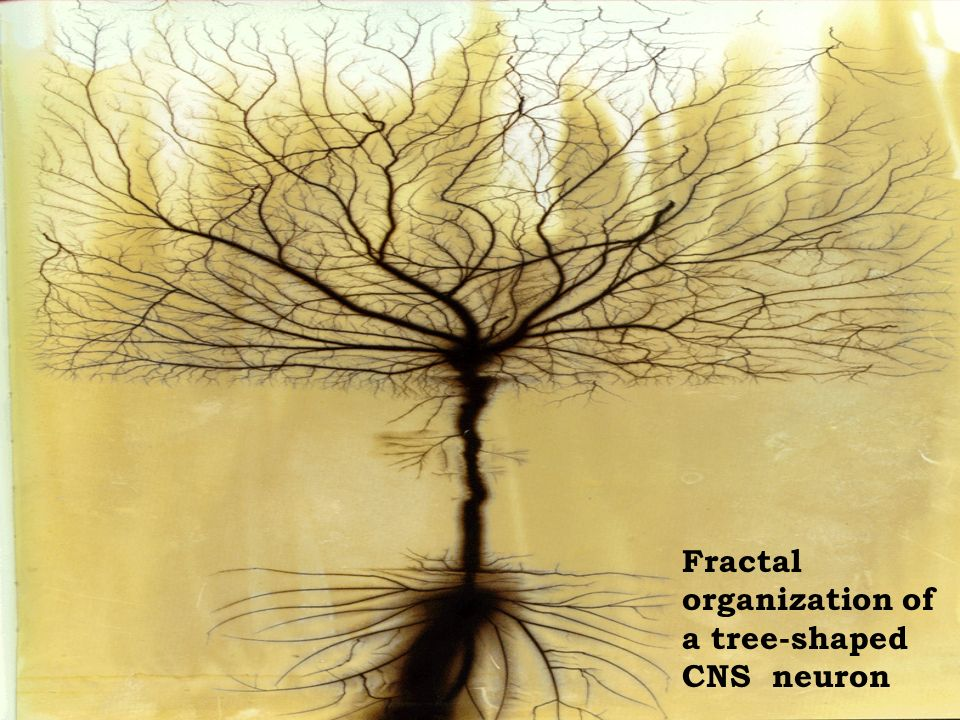 Fractal organization of a tree-shaped CNS neuron