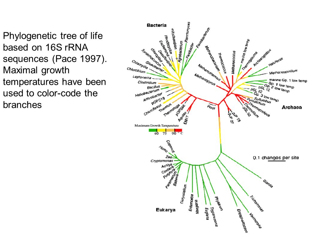Phylogenetic tree of life based on 16S rRNA sequences (Pace 1997).