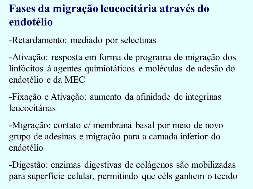 Fases da migração leucocitária através do endotélio -Retardamento: mediado por selectinas -Ativação: resposta em forma de programa de migração dos lin