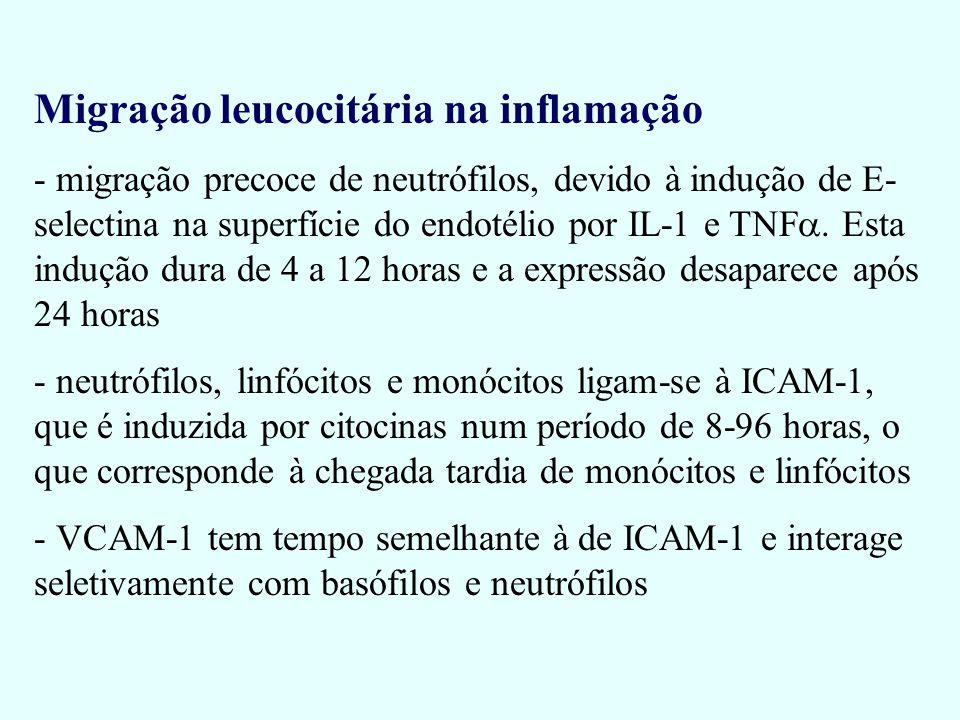 Migração leucocitária na inflamação - migração precoce de neutrófilos, devido à indução de E- selectina na superfície do endotélio por IL-1 e TNF. Est