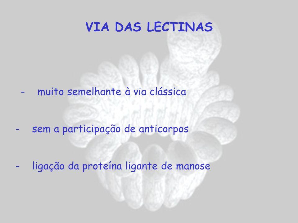 VIA DAS LECTINAS - muito semelhante à via clássica - sem a participação de anticorpos - ligação da proteína ligante de manose