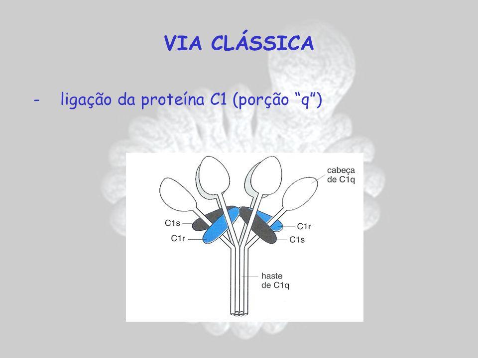 VIA CLÁSSICA - ligação da proteína C1 (porção q)