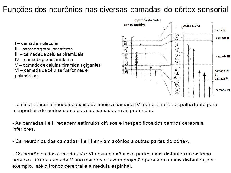 Funções dos neurônios nas diversas camadas do córtex sensorial – o sinal sensorial recebido excita de início a camada IV; daí o sinal se espalha tanto