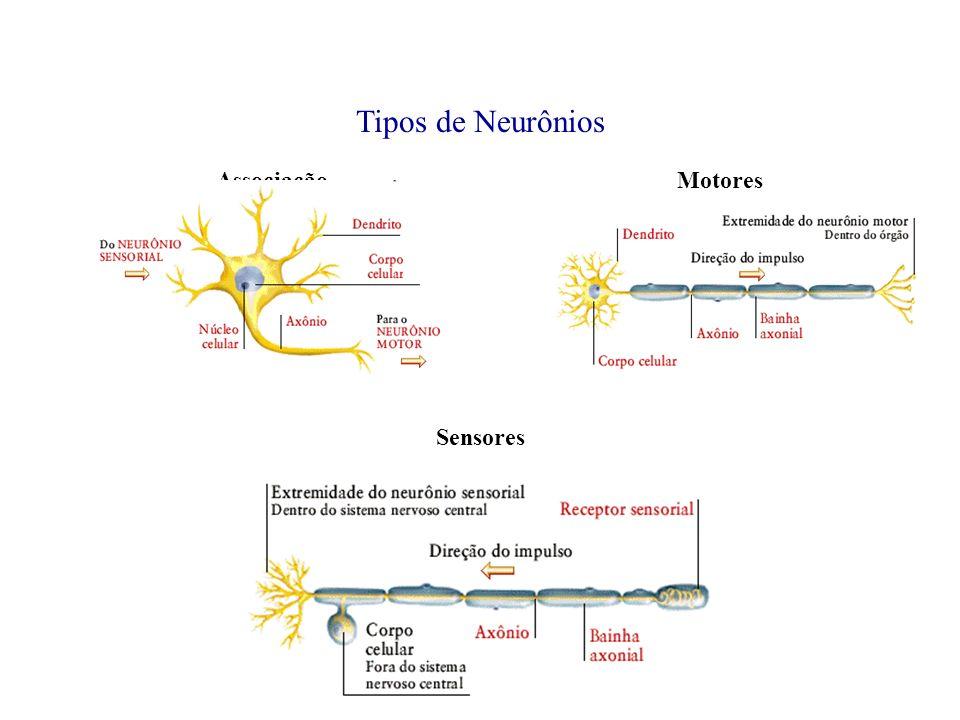 Tipos de Neurônios AssociaçãoMotores Sensores