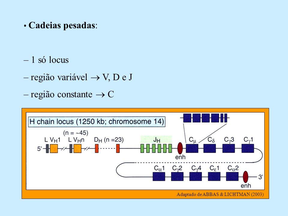 Adaptado de ABBAS & LICHTMAN (2003) Cadeias pesadas: – 1 só locus – região variável V, D e J – região constante C