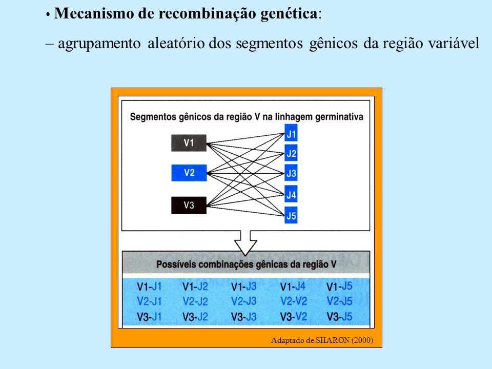 Mecanismo de recombinação genética: – agrupamento aleatório dos segmentos gênicos da região variável Adaptado de SHARON (2000)