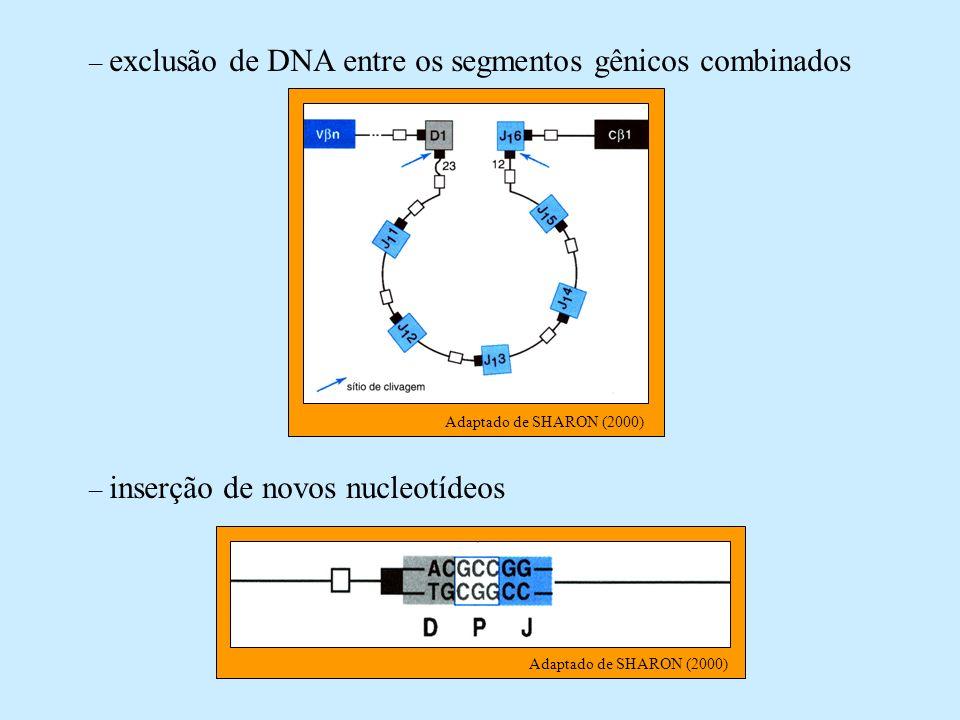 – exclusão de DNA entre os segmentos gênicos combinados Adaptado de SHARON (2000) – inserção de novos nucleotídeos Adaptado de SHARON (2000)