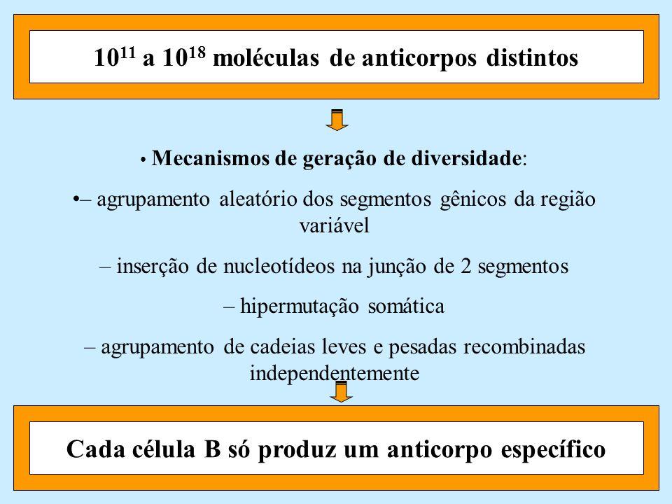 10 11 a 10 18 moléculas de anticorpos distintosCada célula B só produz um anticorpo específico Mecanismos de geração de diversidade: – agrupamento ale