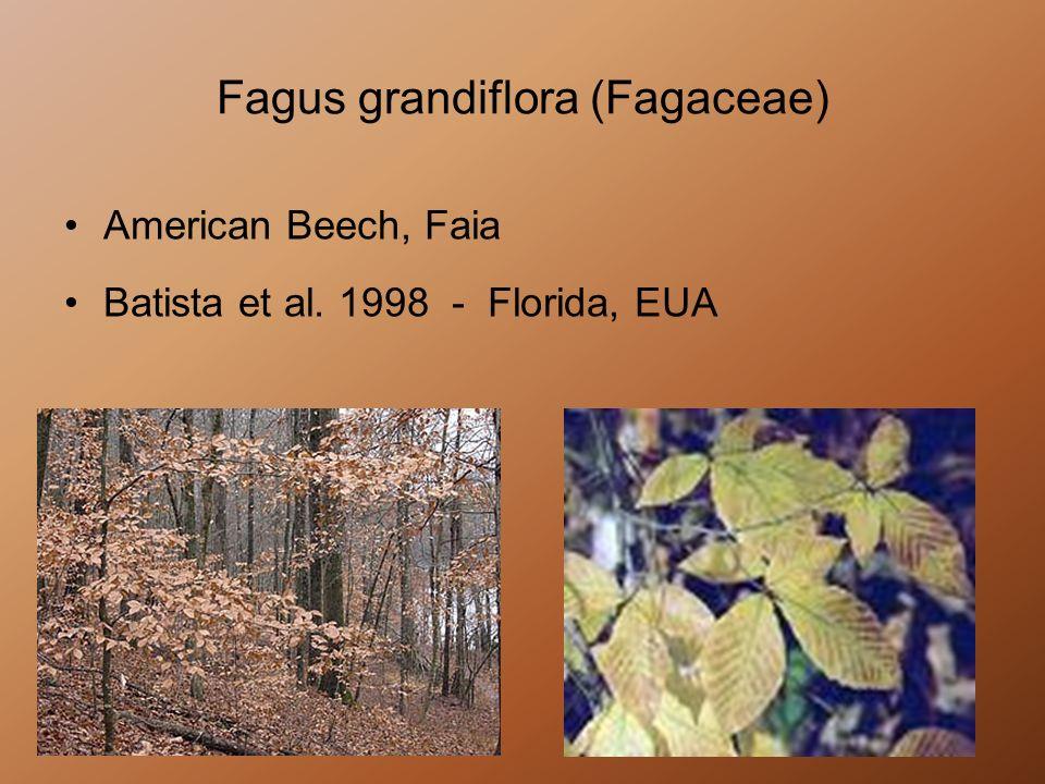 Fagus grandiflora (Fagaceae) American Beech, Faia Batista et al. 1998 - Florida, EUA