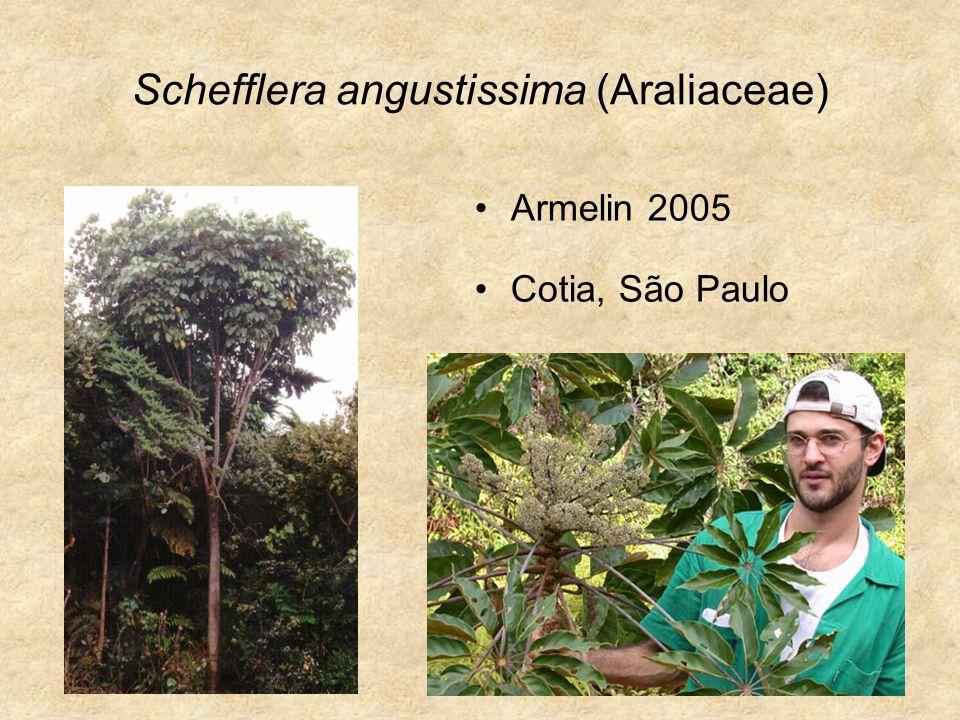 Schefflera angustissima (Araliaceae) Armelin 2005 Cotia, São Paulo