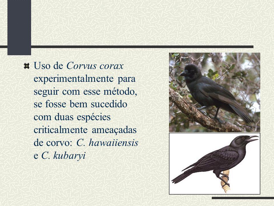 Uso de Corvus corax experimentalmente para seguir com esse método, se fosse bem sucedido com duas espécies criticalmente ameaçadas de corvo: C. hawaii