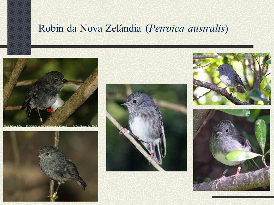 Robin da Nova Zelândia (Petroica australis)