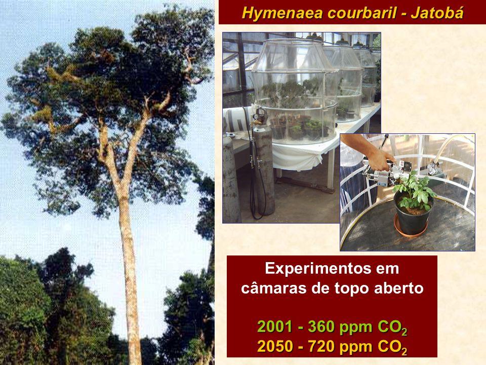 Hymenaea courbaril - Jatobá Experimentos em câmaras de topo aberto 2001 - 360 ppm CO 2 2050 - 720 ppm CO 2