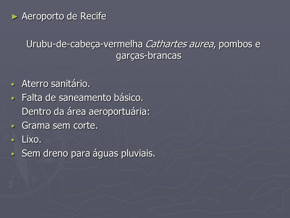 Aeroporto de Recife Aeroporto de Recife Urubu-de-cabeça-vermelha Cathartes aurea, pombos e garças-brancas Aterro sanitário. Aterro sanitário. Falta de