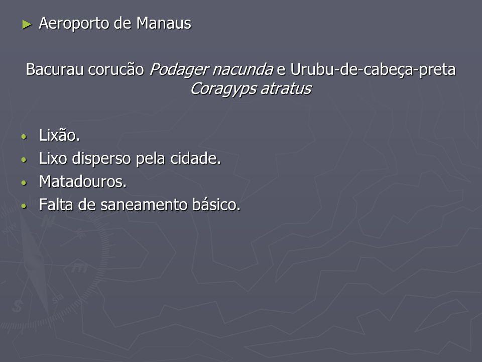 Aeroporto de Manaus Aeroporto de Manaus Bacurau corucão Podager nacunda e Urubu-de-cabeça-preta Coragyps atratus Lixão. Lixão. Lixo disperso pela cida