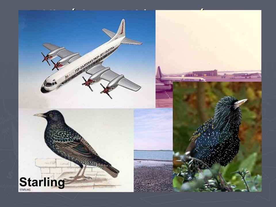 Histórico – Acidentes aéreos envolvendo Aves 04 de outubro de 1960 – Lockheed L-188 Electra da Eastern Airlines caiu no mar. Motivo: Pássaros entraram