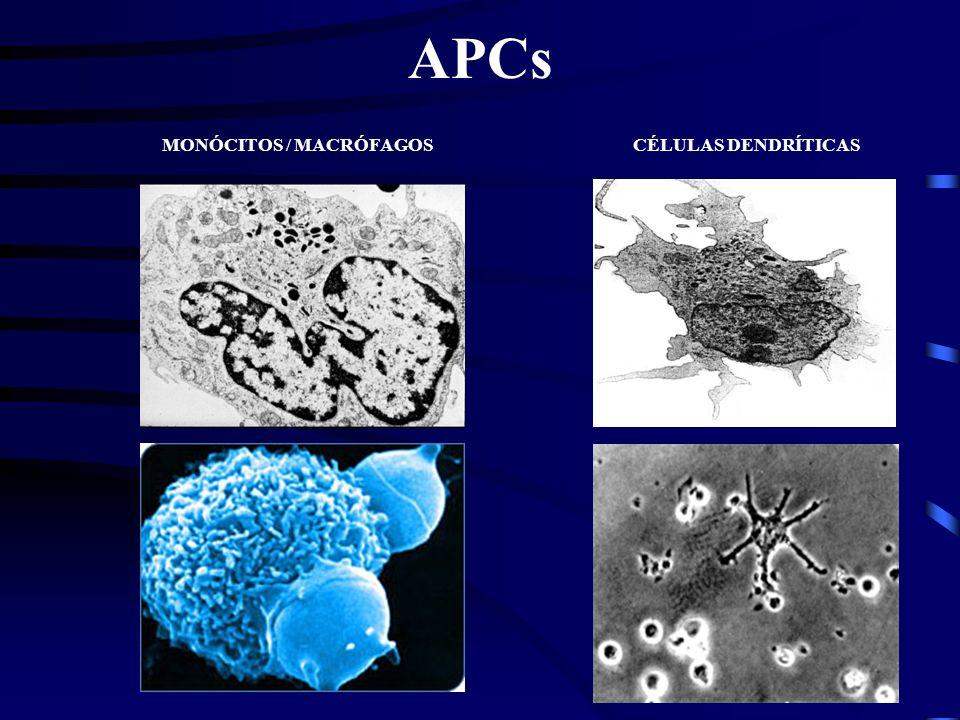 Auxilia na inflamação. Histamina - Aumenta a permeabilidade vascular. Reações alérgicas. MASTÓCITO