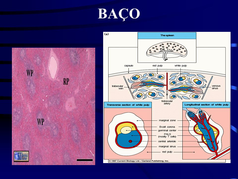 BAÇO Polpa Vermelha Macrófagos e Eritrócitos Polpa Branca Circunda Artéria Esplênica Bainha Linfóide Periarteriolar - Linfócitos T Folículos Linfóides