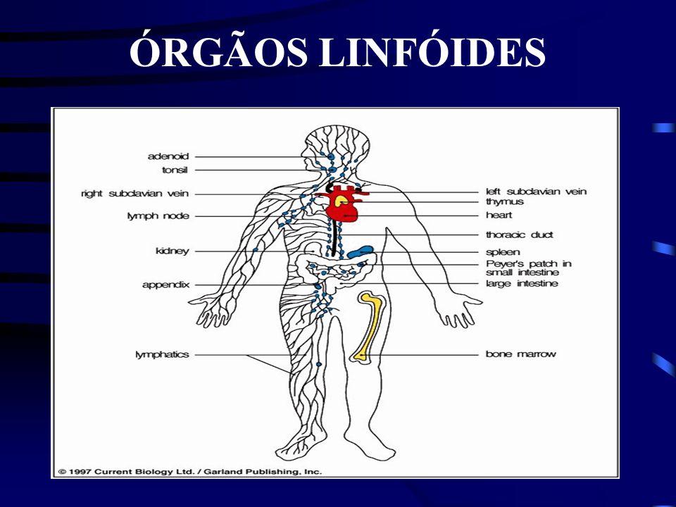 ÓRGÃOS LINFÓIDES CENTRAIS OU PRIMÁRIOS - Geração de Linfócitos Medula Óssea e Timo PERIFÉRICOS OU SECUNDÁRIOS - Início resp. adap. Linfonodos, Baço, M