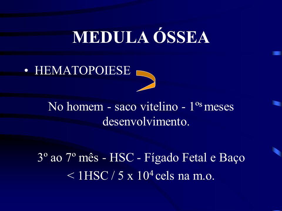 MEDULA ÓSSEA HEMATOPOIESE No homem - saco vitelino - 1º s meses desenvolvimento.