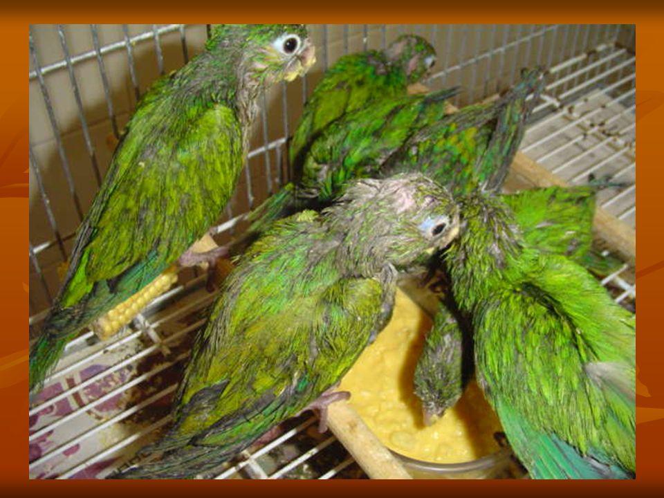 23 de fevereiro de 2006 MAIS UM DEPÓSITO DE ANIMAIS SILVESTRES VÍTIMAS DO TRÁFICO É DESCOBERTO Desta vez cerca de QUINHENTAS AVES em um pequeno quarto