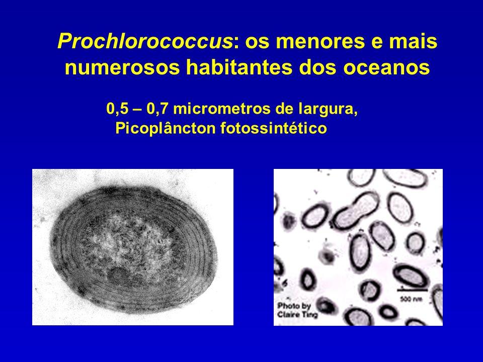 Prochlorococcus: os menores e mais numerosos habitantes dos oceanos 0,5 – 0,7 micrometros de largura, Picoplâncton fotossintético