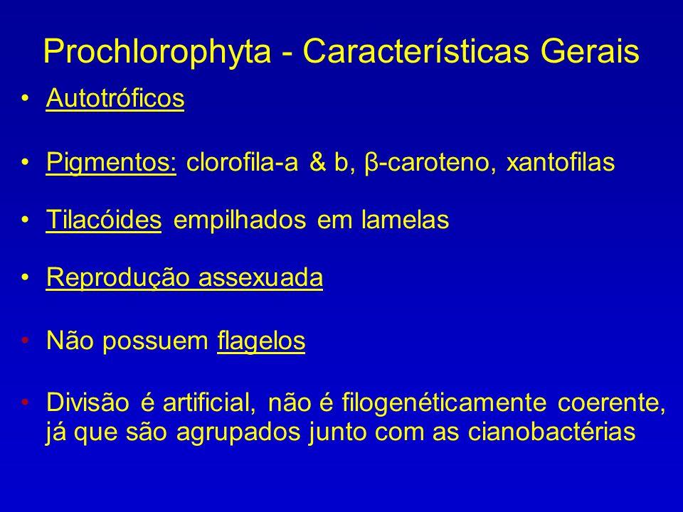 Prochlorophyta - Características Gerais Autotróficos Pigmentos: clorofila-a & b, β-caroteno, xantofilas Tilacóides empilhados em lamelas Reprodução assexuada Não possuem flagelos Divisão é artificial, não é filogenéticamente coerente, já que são agrupados junto com as cianobactérias