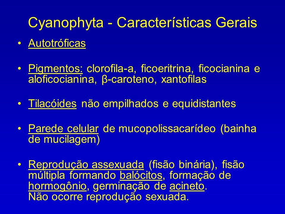 Cyanophyta - Características Gerais Autotróficas Pigmentos: clorofila-a, ficoeritrina, ficocianina e aloficocianina, β-caroteno, xantofilas Tilacóides