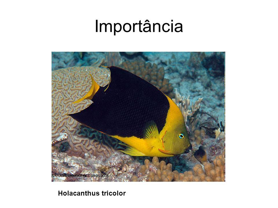 Importância Holacanthus tricolor