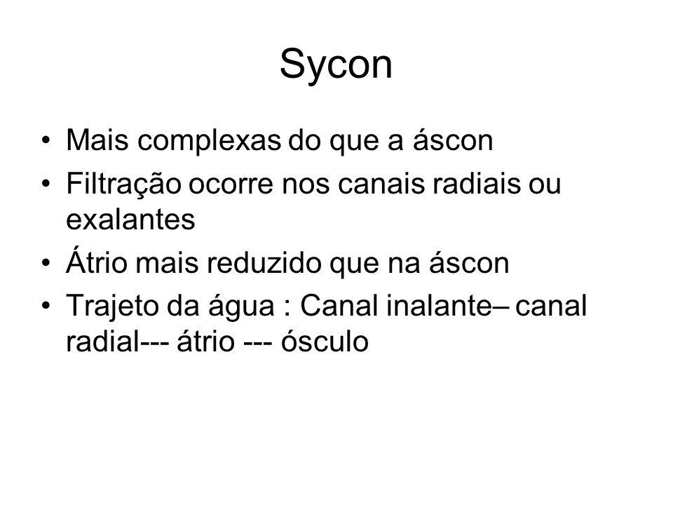 Sycon Mais complexas do que a áscon Filtração ocorre nos canais radiais ou exalantes Átrio mais reduzido que na áscon Trajeto da água : Canal inalante