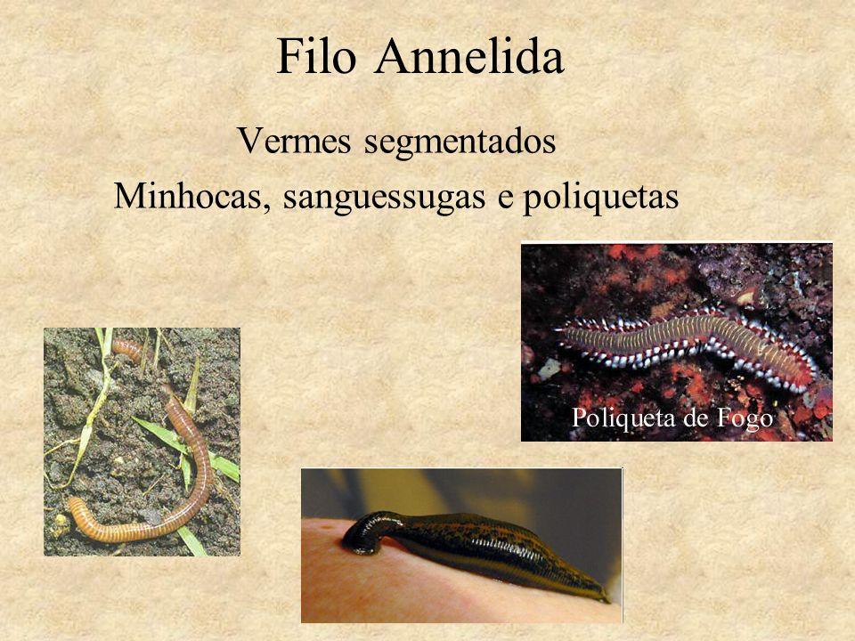 Filo Annelida Vermes segmentados Minhocas, sanguessugas e poliquetas