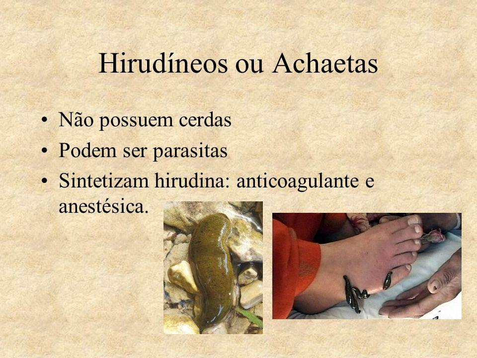 Hirudíneos ou Achaetas Não possuem cerdas Podem ser parasitas Sintetizam hirudina: anticoagulante e anestésica.