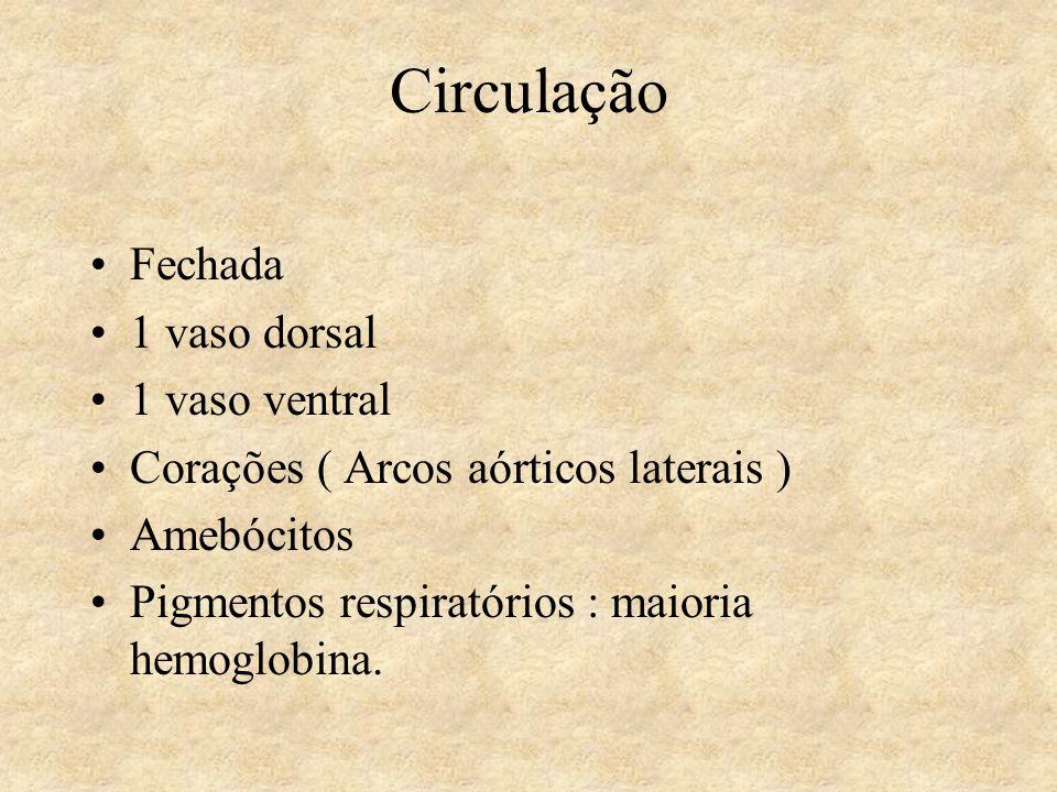Circulação Fechada 1 vaso dorsal 1 vaso ventral Corações ( Arcos aórticos laterais ) Amebócitos Pigmentos respiratórios : maioria hemoglobina.