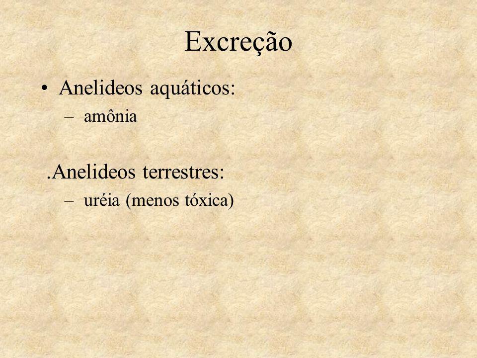 Excreção Anelideos aquáticos: – amônia.Anelideos terrestres: – uréia (menos tóxica)