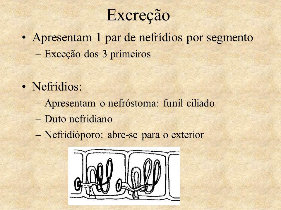 Excreção Apresentam 1 par de nefrídios por segmento –Exceção dos 3 primeiros Nefrídios: –Apresentam o nefróstoma: funil ciliado –Duto nefridiano –Nefr