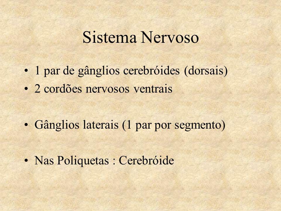 Sistema Nervoso 1 par de gânglios cerebróides (dorsais) 2 cordões nervosos ventrais Gânglios laterais (1 par por segmento) Nas Poliquetas : Cerebróide