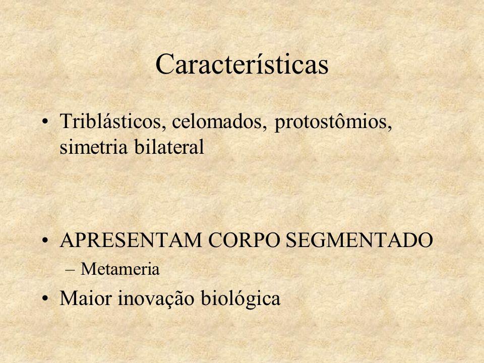 Características Triblásticos, celomados, protostômios, simetria bilateral APRESENTAM CORPO SEGMENTADO –Metameria Maior inovação biológica