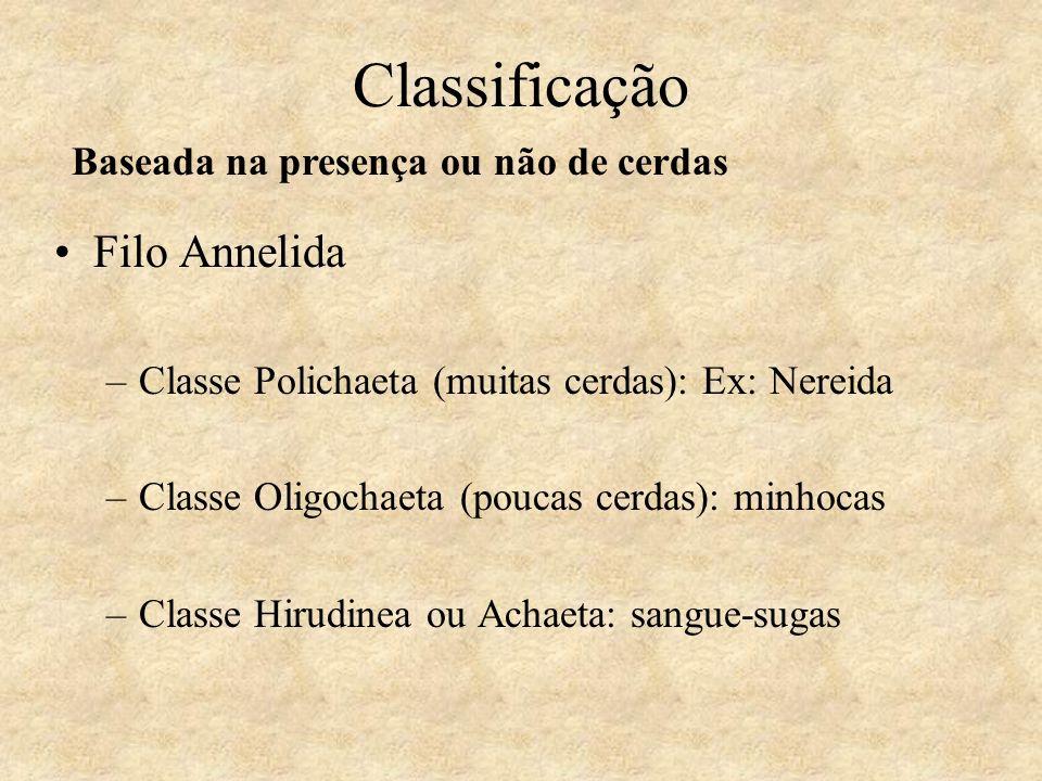 Classificação Filo Annelida –Classe Polichaeta (muitas cerdas): Ex: Nereida –Classe Oligochaeta (poucas cerdas): minhocas –Classe Hirudinea ou Achaeta